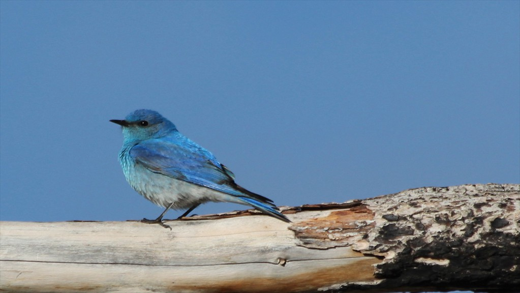 mountain bluebird male 2015