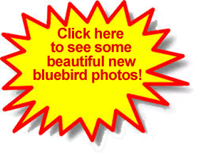 Click here for some beautiful bluebird pictures!
